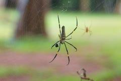 Guld- siden- Orb som väver spindeln arkivfoton