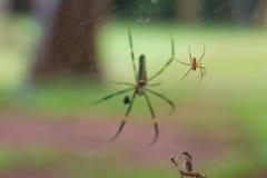 Guld- siden- Orb som väver spindeln royaltyfria foton