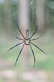 Guld- siden- Orb som väver spindeln som väntar på hennes rengöringsduk arkivfoton