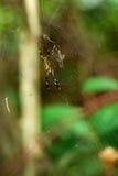 Guld- siden- orb-vävare/Costa Rica royaltyfri fotografi