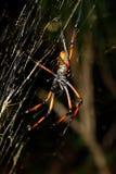 Guld- siden- orb-vävare, nephila på netto Madagascar arkivbild