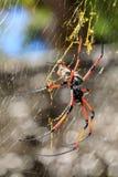 Guld- siden- orb-vävare på netto Madagascar djurliv arkivfoton