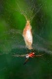 Guld- siden- orb-vävare spindel fotografering för bildbyråer