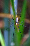 Guld- siden- orb-vävare spindel royaltyfri bild