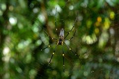 Guld- siden- orb-vävare spindel royaltyfria foton