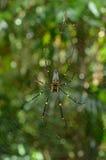 Guld- siden- orb-vävare spindel arkivfoto