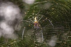 Guld- siden- orb-vävare spindel i den oskarpa naturliga bakgrunden Arkivbild