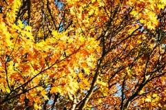 Guld- sidor på träd i höst/nedgång Arkivbild