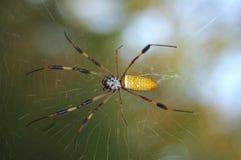 guld- silk spindel Fotografering för Bildbyråer