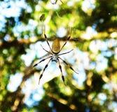 guld- silk spindel royaltyfri foto