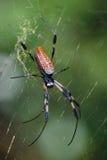 guld- silk spindel Arkivbilder