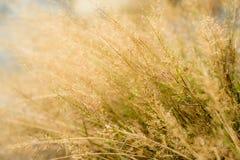 Guld- skägggräsblomma Fotografering för Bildbyråer