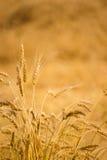 guld- skörd Royaltyfria Bilder