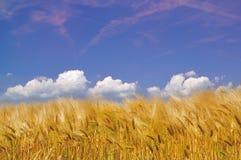 guld- skörd för cornfield Arkivbilder