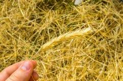 Guld- skörd i hand över fält under dramatiskt Royaltyfria Bilder