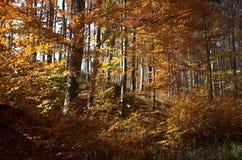 guld- skog Royaltyfria Foton