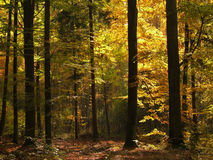 guld- skog Arkivfoton