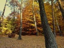 Guld- skog Royaltyfria Bilder
