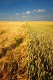 guld- skyvete för molnigt fält royaltyfri bild