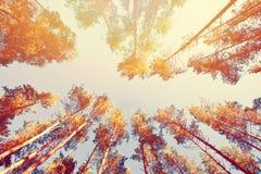 Guld- solig höst för tappning i skogen Royaltyfri Bild