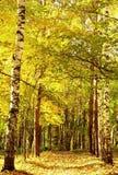 Guld- solljusbana för höst i oktober den blandade skogen Royaltyfri Bild