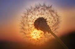 Guld- solnedgång och maskros Arkivfoto