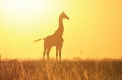 Guld- solnedgångkontur för giraff - djurlivbakgrund och skönhet från bondvischa av Afrika. Arkivbilder