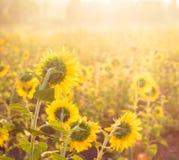 guld- solros Royaltyfri Fotografi