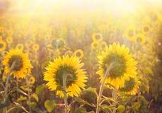 guld- solros Fotografering för Bildbyråer