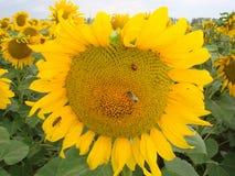 Guld- solros med nyckelpigan och biet arkivfoto