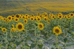 guld- solrosor för fält Arkivbilder