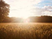 Guld- sommarsolnedgång i rågfält Royaltyfri Fotografi