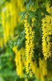 guld- sommartree Fotografering för Bildbyråer