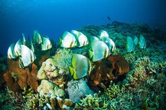 Guld- spadefish bunaken den undervattens- sulawesi indonesia plataxboersiien Royaltyfri Bild