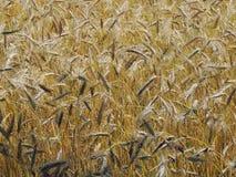 Guld- spikelets av vete Det Juli fältet är en varm solig dag Arkivfoto