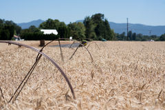 Guld- sprinkleranläggning för vetefält med hjul Arkivfoton