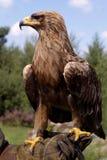 guld- stående för örn Arkivfoto
