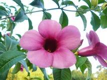 Guld- stjärna i blomman eller lilaBignonia, slut upp Royaltyfri Foto