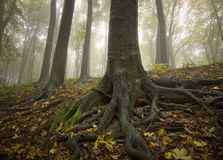 guld- stora svarta för rotar treen arkivfoton
