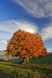Guld- tree Fotografering för Bildbyråer