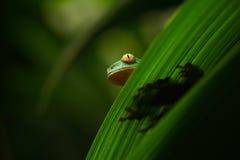 Guld--synad bladgroda, Cruziohyla calcarifer, grön groda som döljas på sidorna, trädgroda i naturlivsmiljön, Corcovado, Costa R Royaltyfri Bild