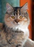 Guld--synade Torbie med den vita kattungen Arkivfoton