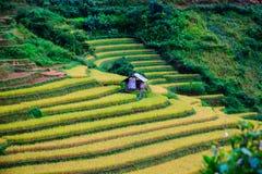 Guld terrasserade risfält i Mu Cang Chai, Yen Bai, Vietnam Royaltyfri Bild