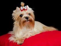 guld- terrier yorkshire Royaltyfria Bilder