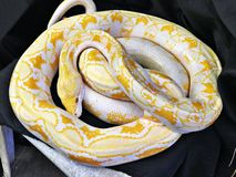 Guld- thailändsk pytonorm eller Albino Burmese pytonorm Arkivbilder
