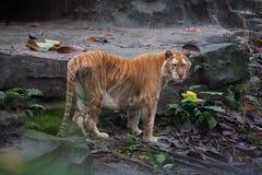 Guld- tiger royaltyfri foto
