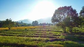 Guld- timme över skördfält i Pai, Thailand Royaltyfri Foto