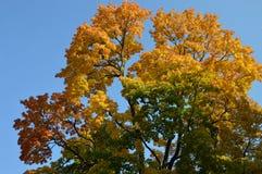 Guld- träd Royaltyfria Foton