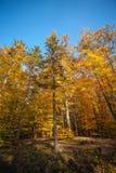 Guld- träd i höstskogen Arkivfoto