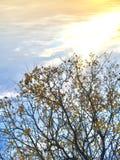 Guld- träd och klar horisont arkivbild